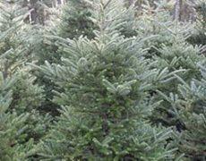 Kerstbomen Venlo